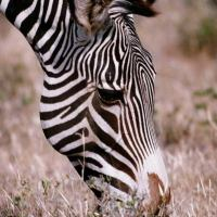 What Do Zebras Eat - Zebras Diet
