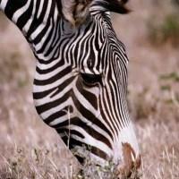 What Do Zebras Eat - Zebras Diet
