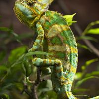 Chameleon Facts For Kids | Chameleon Habitat, Diet, Behavior