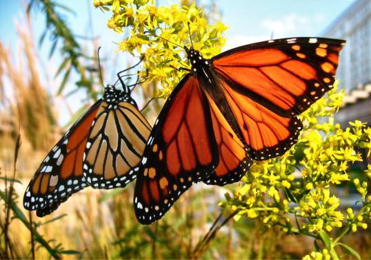 Two Monarch butterflies- monarch butterfly facts for kids