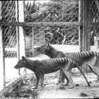Tasmanian Tiger Facts | Tasmanian Tiger Habitat & Diet