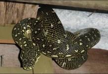 diamond python facts