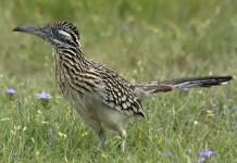 roadrunner bird facts