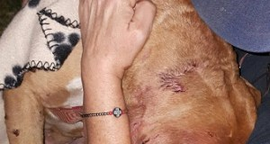 One of the dogs rescued at a resent dog fighting bust