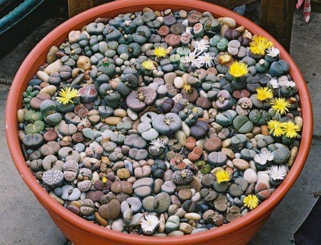 Живые камни в домашних условиях