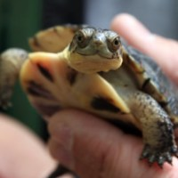 U.S.: Maine Continues Commitment to Protect Threatened Turtles from Motorists