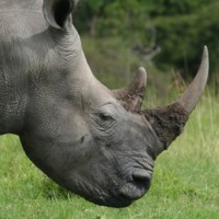 Rhino Horn Smugglers Arrested in Thailand and Vietnam
