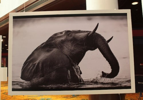 """This elephant print was part of the """"Wild and Precious"""" exhibit at CITES CoP16. Meanwhile, the ridiculous debate about ivory continues."""