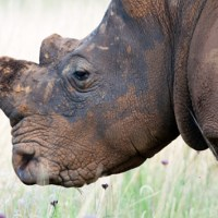 South Africa's Game Industry Insiders Continue to Evade Punishment for Rhino Crimes