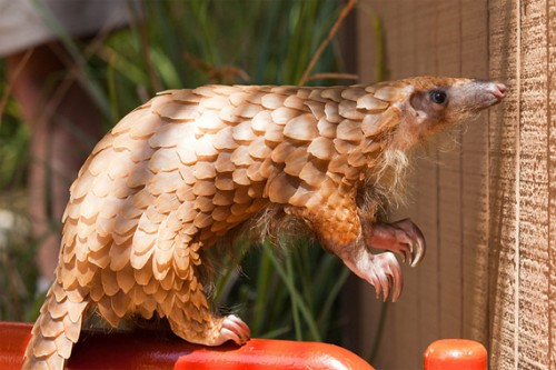 Pangolins will slide into extinction without intervention. CREDIT: Ruslan Rugoals (CC).