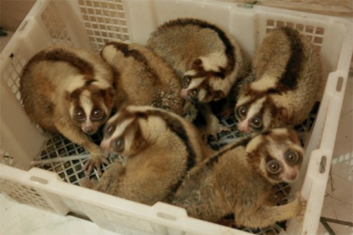 Confiscated lorises that had been destined for the pet trade in Indonesia. PHOTO CREDIT: © WCS-Indonesia.
