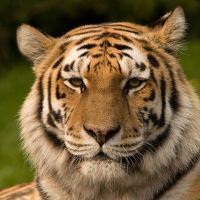South Africa's Tiger Trade Under Scrutiny