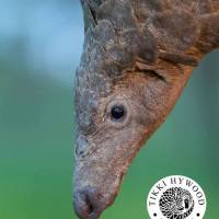 CITES Appendix I Listing Proposed for All Eight Pangolin Species