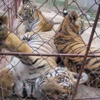 Wildlife Criminal Plans to Import Tigers into Vietnam