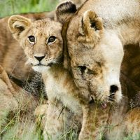 CITES Appendix I Protection Proposed for African Lions