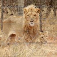 South Africa: Starving Captive Lions Photographed at Trophy Hunting Property
