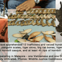Malaysia: 12 Wildlife Traffickers Busted with Ivory, Pangolin Scales, Tiger Skins & More