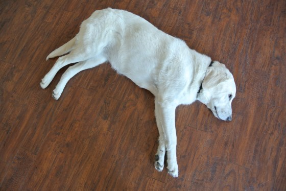 These floors are dog-tested, dog-approved.