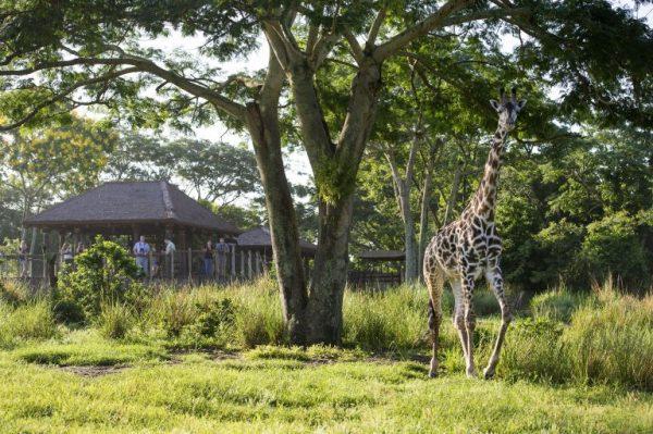 Savor Savanna Animal Kingdom