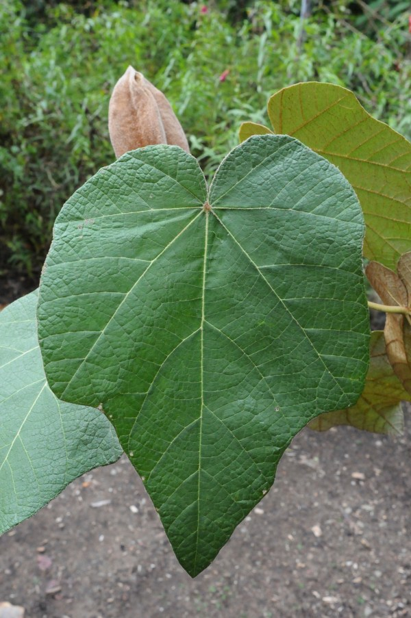 chiranthodendron pentadactylon, leaf