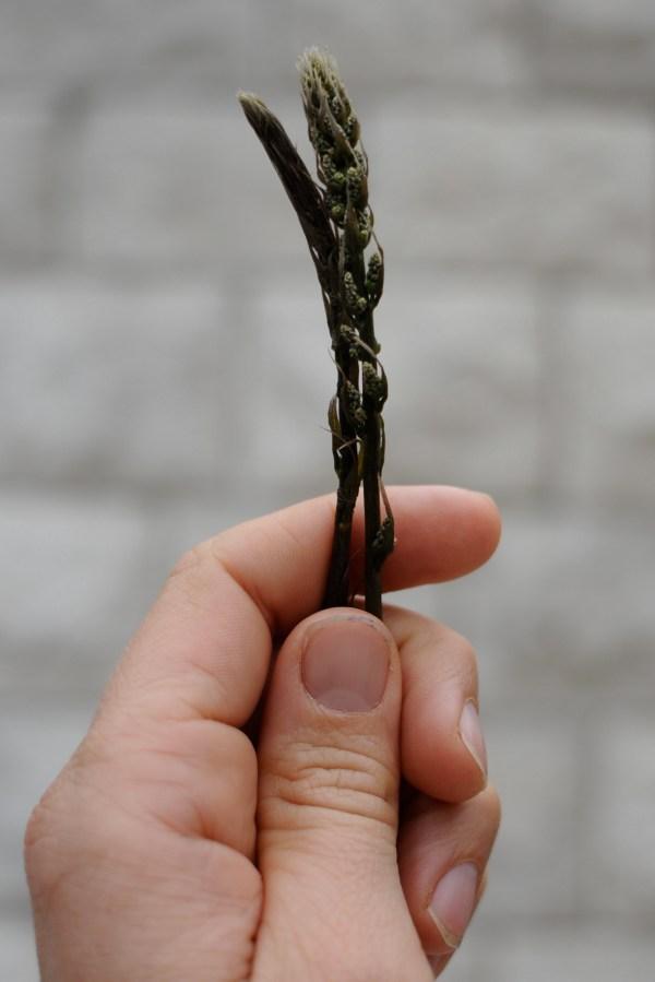asparagus look - alike, montenegro