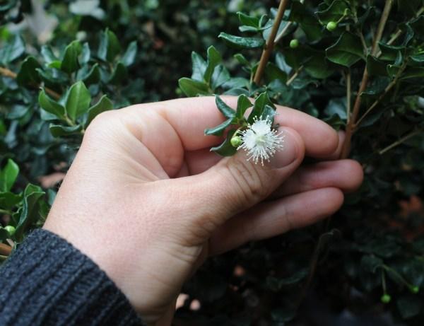 Luma apiculata, luma, arrayan