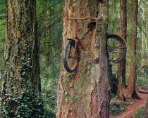Το δέντρο που αγκάλιασε το ποδήλατο
