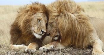 lions_2480890k