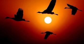 Πουλιά γερανοί κατά τη διάρκεια του ταξιδιού τους από την Ευρώπη στην Αφρική. Είναι πτηνό μεταναστευτικό, διαχειμάζει στην Αφρική και την Ινδία και το καλοκαίρι μεταναστεύει στη Σκανδιναβία και τη Γιουγκοσλαβία, όπου και αναπαράγεται.