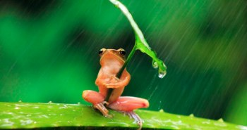 Βάτραχος χρησιμοποιεί ένα φύλλο για ομπρέλα. Φωτογραφία του Penkdix Palme.