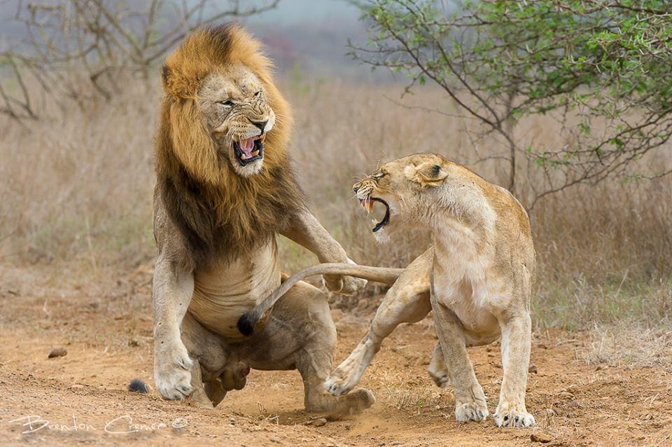 Λιοντάρια - Συνουσία