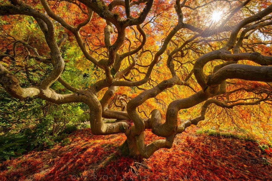 Το διάσημο Japanese Maple Tree, Portland, Oregon, ΗΠΑ