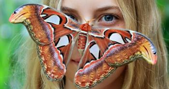 buttergly-attacus