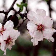 almond-tree220