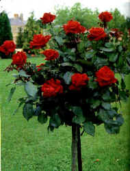 rose_red_plant_small