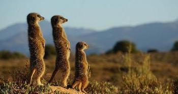 meerkats-morning-upclose