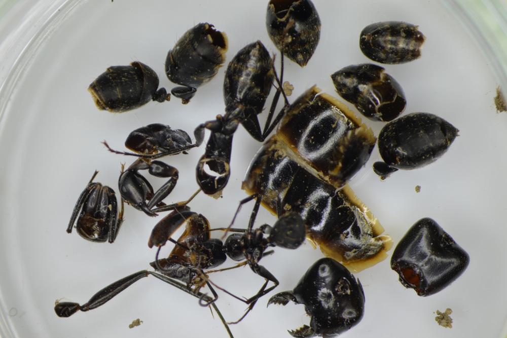 クロオオアリの画像 p1_30