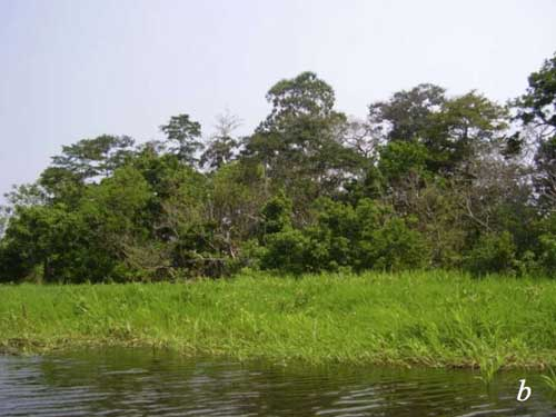 Floating grass in the Amazon basin