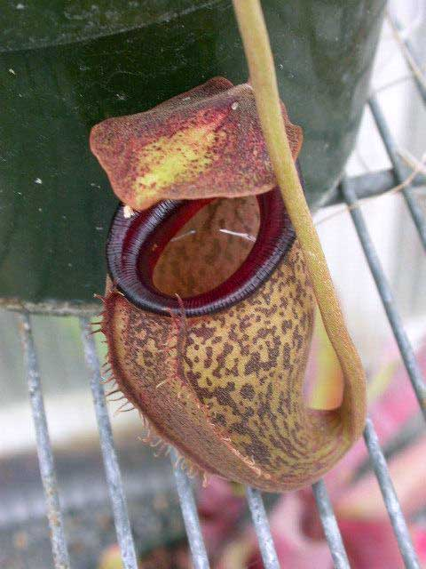 Carnivorous plants prefer to kill in broad daylight