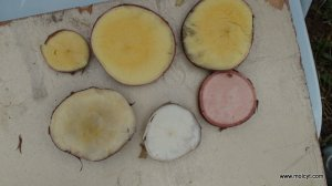 Cassava roots varying in colour and starch/sugar content