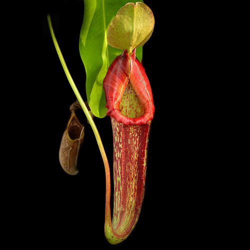 The trap of a pitcher plant