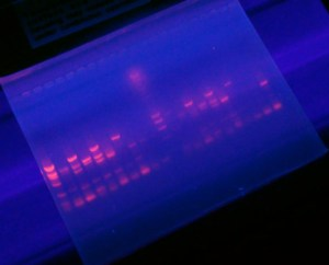 Banana DNA polymorphisms seen in a fluorescent separation assay
