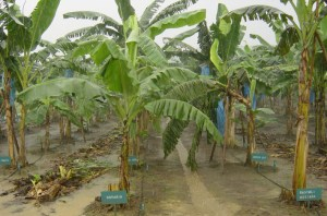 Banana germplasm collection showing diverse genotypes