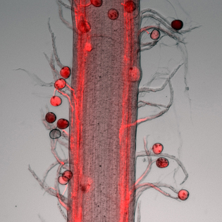 Pathway of maize pollen tubes