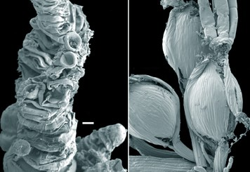 Pollen-tube growth in early angiosperms