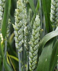 Wheat Ears Anthesis