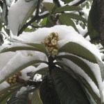 Passerine pollination in a winter-flowering tree