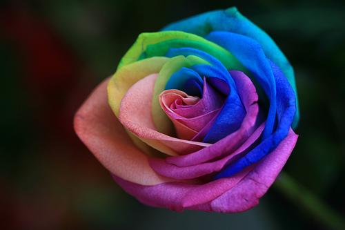A rainbow rose