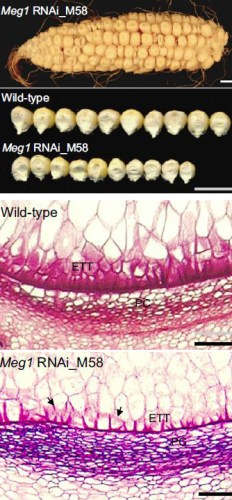 Meg1 effects on seed growth: maize ear and kernels are seen segregating for normal and Meg1 small seeds (top) while the difference in transfer-cell structure is seen in the