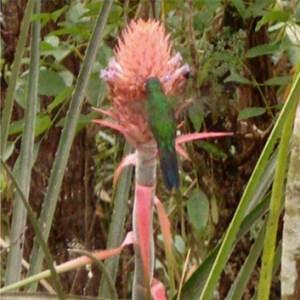 Nectar secretion in an ornithophilous bromeliad